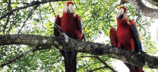 scarlet-macaws-near-manuel-antonio-beach