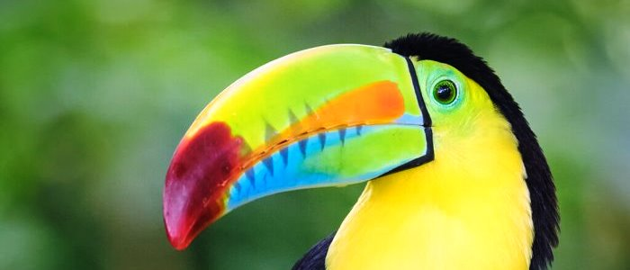 Thanks to its striking colors and its large beak, also very colorful and called the rainbow billed toucan