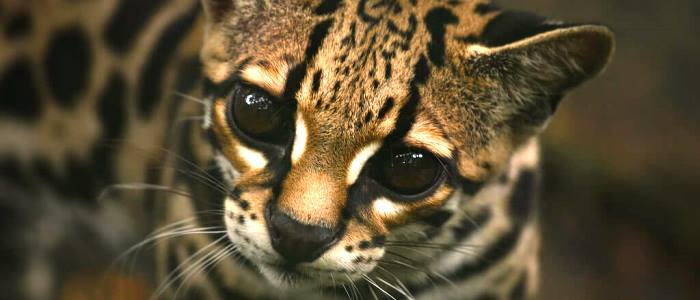 called as a tree ocelot the margay or caucel