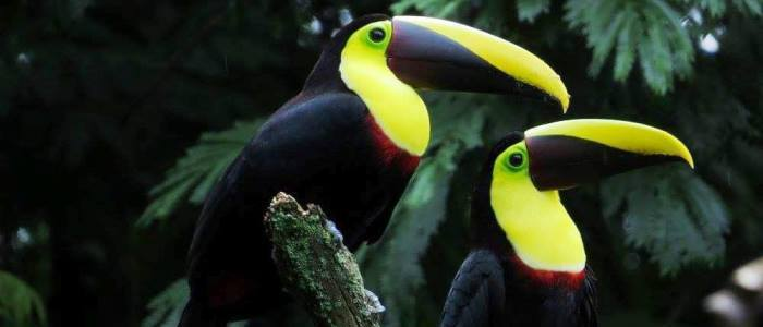 toucans of costa rica