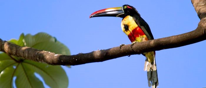The fiery-billed Aracari is an endemic species found in southern pacific slopes of Costa Rica and western Panama