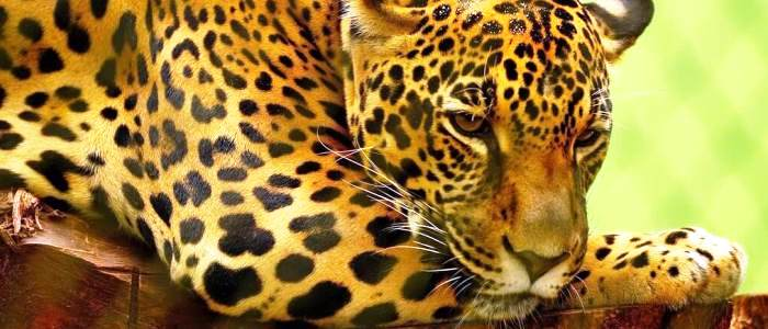 the jaguar is the largest feline found in the americas