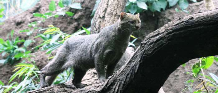 direct relative of the cougar the only feline in costa rican territory that is completely diurnal