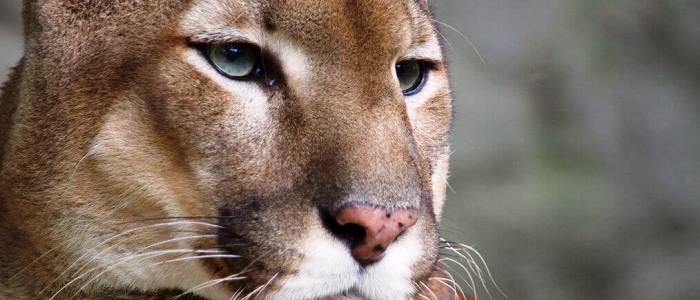the puma is largest feline on the continent along with the jaguar