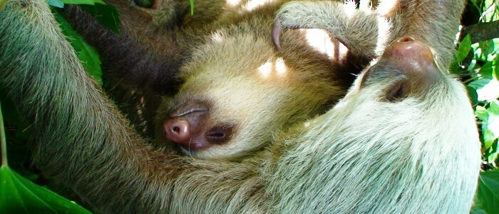 sloths in the rainforest of costa rica