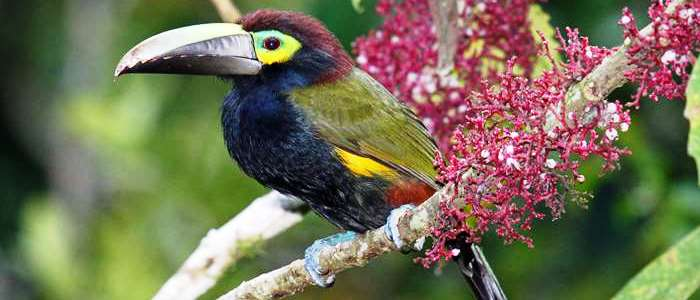 And the last but not the least important is the yellow eared toucanet