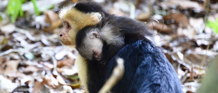 Beautiful baby Capuchin monkey and its mother