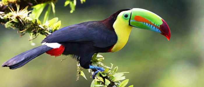6 different species of toucan can be seen in Costa Rica