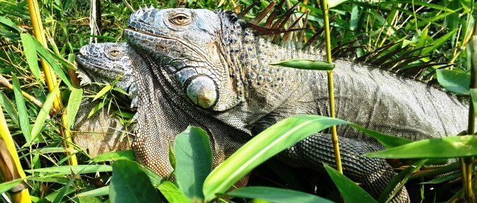 a great chance to see lots of iguanas in costa rica