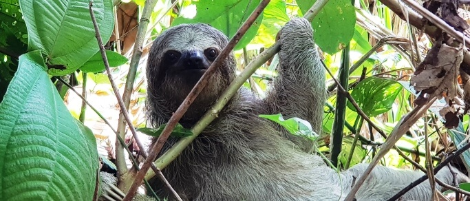arenal volcano combo tour sloth in the wild