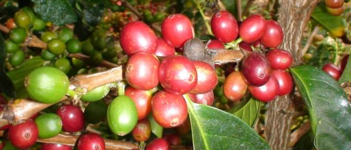 arenal volcano experience tour coffee
