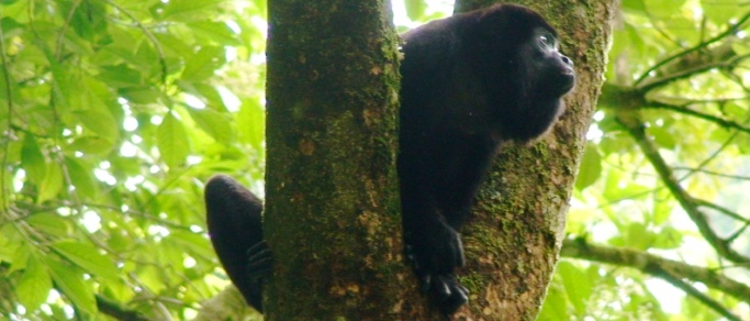 beautiful howler monkey of costa rica