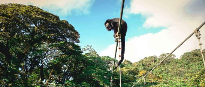 howler monkey in monteverde hanging bridge