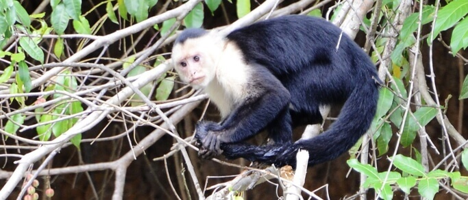 palo verde wildlife tour white faced monkey