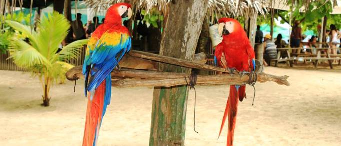 scarlet macaws at the costa rican beach