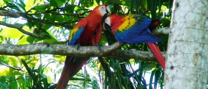 see scarlet macaws on your way to manuel antonio beach