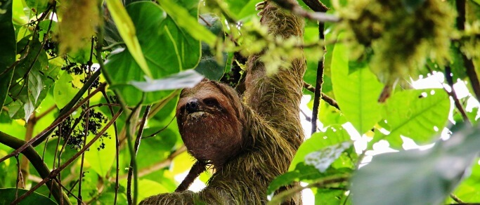 sloth in arenal area