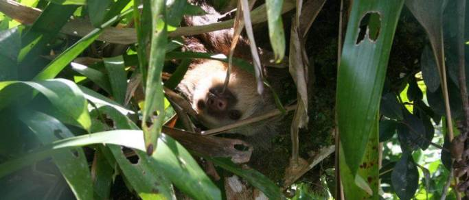 sloth observation tour from guanacaste