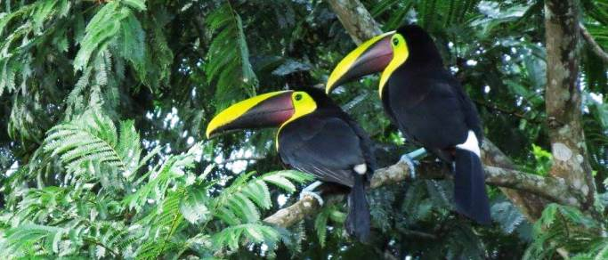 toucans in arenal