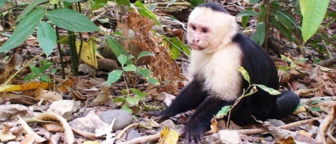 white faced capuchin monkey at the beach