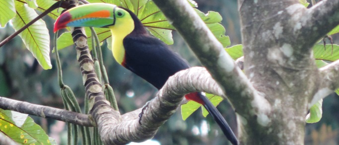 toucan in the costa rica rain forest