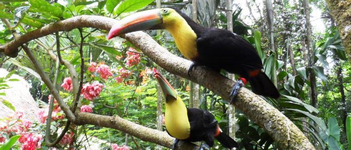 wildlife toucans in the rainforest